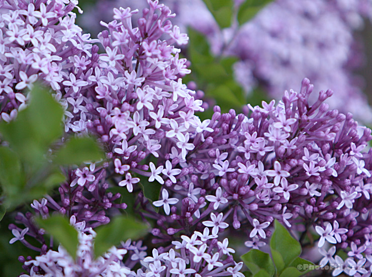 Fresh blooming Lilac bush